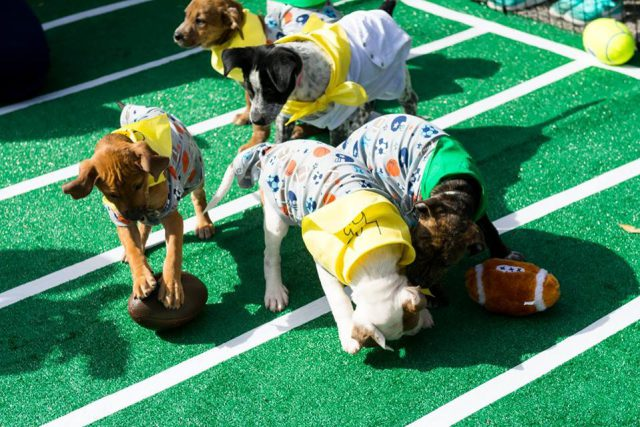 puppy bowl: a few dogs on a fake football field playing with each other